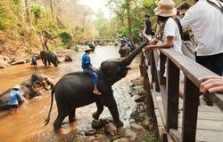 在Maesa大象阵营的大象 库存图片