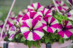 在Mainau海岛庭院的美丽的喇叭花花 免版税库存照片
