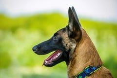 在malinois狗外形画象与黑枪口的 库存照片