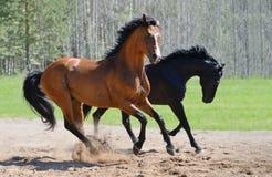 在manege的二匹公马疾驰 库存照片
