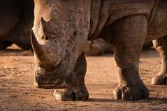 在Mantobeni比赛储备南非的白色犀牛 免版税图库摄影