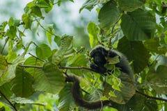 在Marimbus沼泽地的猴子,在Chapada迪亚曼蒂纳 免版税库存图片