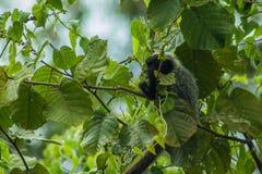 在Marimbus沼泽地的猴子,在Chapada迪亚曼蒂纳 库存图片