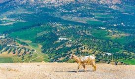 在Marinid坟茔附近的山羊在Fes,摩洛哥 免版税图库摄影
