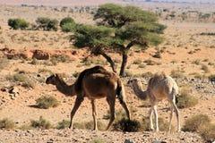在marocco的骆驼 免版税库存照片