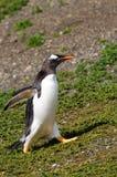 在Martillo海岛,巴塔哥尼亚,阿根廷的Gentoo企鹅 库存图片