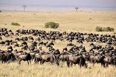在Masa玛拉徒步旅行队的角马在肯尼亚 库存照片