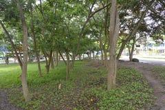在Matanao,南达沃省,菲律宾的市政霍尔的前提增长的树 库存图片