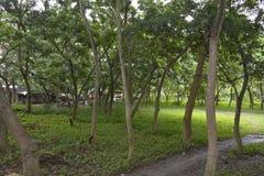 在Matanao,南达沃省,菲律宾的市政霍尔的前提增长的树 免版税图库摄影
