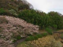 在Matukawa湖的樱花 免版税库存照片