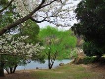 在Matukawa湖的樱花 免版税库存图片