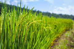 在meacham泰国的领域米 库存照片