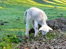 在medaow的小的羊羔 库存图片
