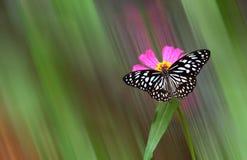 在megenta花的蝴蝶有被弄脏的背景 库存图片