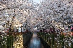 在Meguro河沿,东京的樱桃开花(或佐仓)树 库存图片