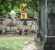 在Menjangan海岛上的鹿 免版税图库摄影