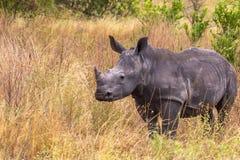 在Meru大草原的一头幼小犀牛  肯尼亚,非洲 免版税库存图片