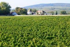 在Meursault附近的葡萄园黑比诺葡萄酒在彻特d'Or 库存照片