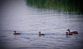 在Michigan湖的鸭子 图库摄影