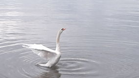 在Mimico江边的疣鼻天鹅着陆 免版税图库摄影