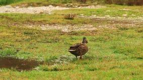 在Misurina湖的野鸭,白云岩山 影视素材