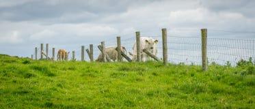 在Moher峭壁的母牛  免版税库存照片