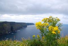 在Moher,爱尔兰峭壁的黄色花  免版税库存图片