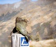 在Moke湖的两只Kea鸟 库存图片