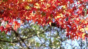 在momiji季节期间的五颜六色的日本枫叶在Kinkakuji庭院,京都,日本 股票录像