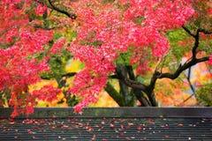 在momiji季节期间的五颜六色的日本枫叶在Kinkakuji庭院,京都,日本 免版税库存图片