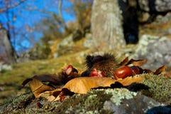 在Monte Amiata,托斯卡纳的栗子和青苔 免版税库存照片