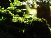 在moos的共同的酢浆草在森林里 免版税库存照片