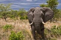 在Moremi储备的男性大象 图库摄影