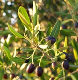 在Moring的橄榄 免版税库存照片