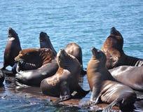 在Morro海湾,加利福尼亚的斑海豹 免版税库存照片