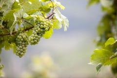 在Mosel谷的葡萄 免版税图库摄影