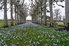 在Mottisfont修道院的椴树步行在汉普郡 免版税库存图片