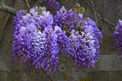 在Mottisfont修道院,汉普郡,英国的紫藤 免版税库存图片