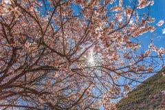 在moutains前面的美丽和五颜六色的桃子开花 库存图片