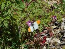 在moutains的橙色技巧蝴蝶 库存照片