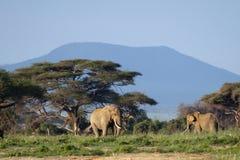 在Mt乞力马扎罗前面的两头大象 图库摄影