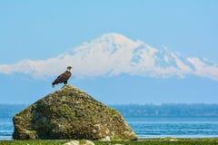 在Mt前面被摆在的老鹰 噬菌体 免版税图库摄影