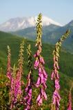 在Mt圣徒Helens的野花 库存照片