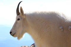 在Mt的石山羊科罗拉多 免版税库存图片