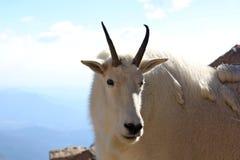 在Mt的石山羊科罗拉多 库存图片