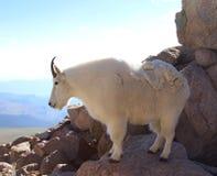 在Mt的石山羊科罗拉多 免版税图库摄影