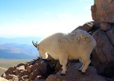 在Mt的石山羊科罗拉多 库存照片