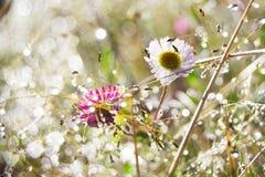 在Mt的雏菊 Prau III 免版税库存照片