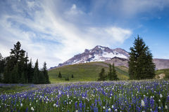 在Mt.敞篷,俄勒冈的夏天野花 图库摄影
