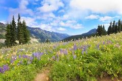 在Mt.Ranier供徒步旅行的小道附近的Naches高峰循环线索与野花。 免版税图库摄影